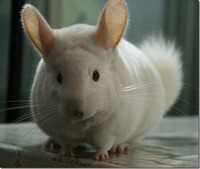 20121123-white-chinchilla_thumb